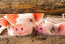 Wibest – Pigs in a pen.