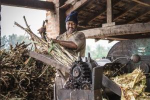 India's sugar production dropped sharply